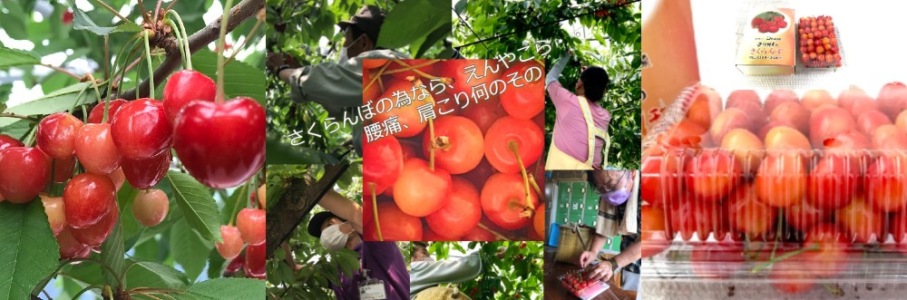 南信州さくらんぼ、自社農園さくらんぼ、完熟さくらんぼ、旬の果物