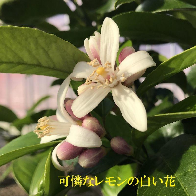 マイヤーレモン、白い花、可憐