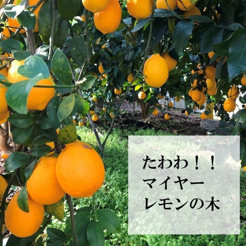 マイヤーレモン、国産レモン、ノーワックス、レモンバター